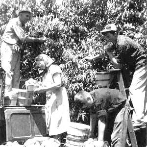 picking peaches in the early days of Jones Orchard