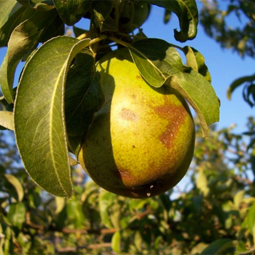 Farm fresh pears ready for picking at Jones Orchard in Millington, Tennessee