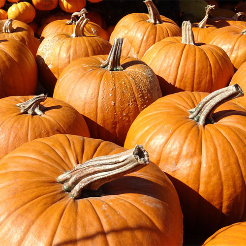 Pick-your-own pumpkins and farm fun activities at the Jones Orchard Fall Festival