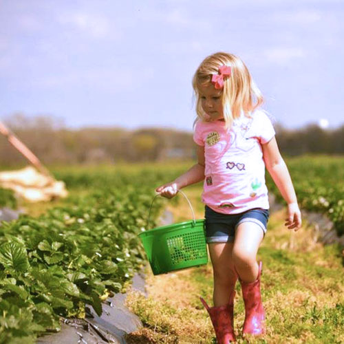 U-Pick Strawberries & More Locally Grown Fruit at Jones Orchard