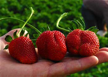 Join us this season for pick your own strawberries at our farm just outside of memphis in Millington, Tennessee.